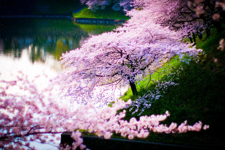 【2014春】千鳥ヶ淵の桜をLightroom 5 で幻想的に現像してみた